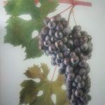 შავი ყურძენი